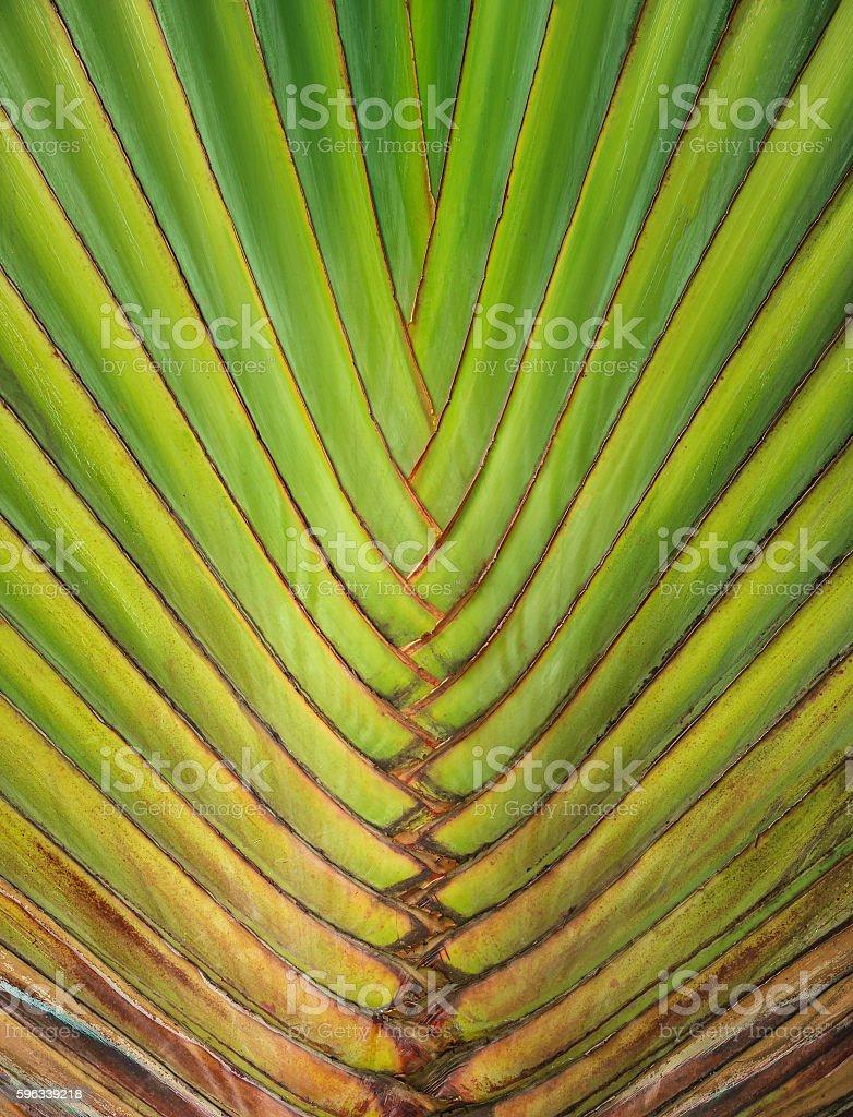 traveler's palm or traveler's tree, background royalty-free stock photo