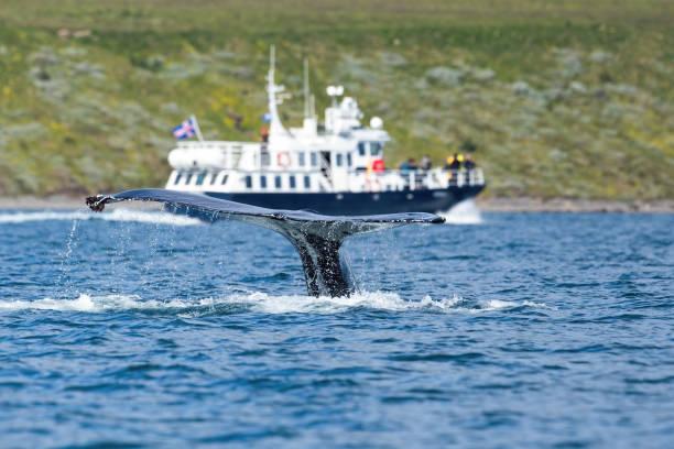 reizende boot die bultrugwalvis let die overzeese oppervlakte overtreedt - rondvaartboot stockfoto's en -beelden