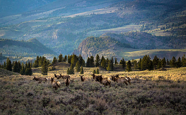 Traveling Elk stock photo