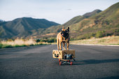 A French Bulldog is ready to travel with his luggage and suitcase. He stands on his suitcase on a skateboard, ready for a road trip. He has wanderlust after being quarantined in his home. Image taken in Utah, USA.
