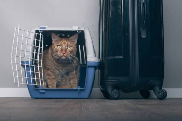 Traveling with a cat ginger cat in a pet carrier next to a suitcase picture id991970014?b=1&k=6&m=991970014&s=612x612&w=0&h= 28gwwmmhxtkeqcub2  dukwjwegw titatrwpc3hsq=