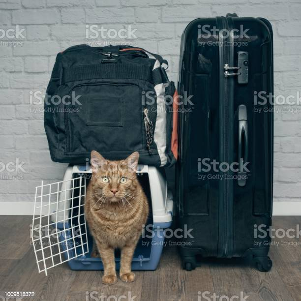 Traveling with a cat ginger cat looking anxiously from a pet carrier picture id1009518372?b=1&k=6&m=1009518372&s=612x612&h=uttizxvtznti4ehdkladwfm49njyxs5jlajbsqt5iei=