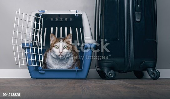 Traveling with a cat - Tabby cat looking anxiously from a pet carrier next to a suitcase.