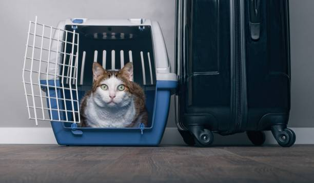 traveling with a cat - tabby cat looking anxiously from a pet carrier next to a suitcase. - carrying stock pictures, royalty-free photos & images