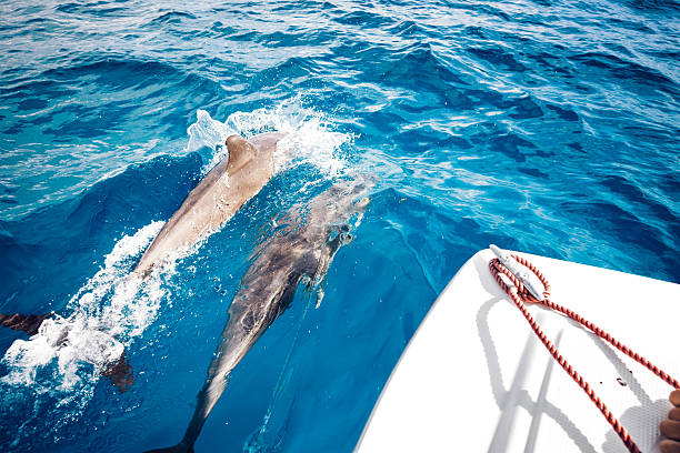 Traveling With Dolphins Group of dolphins jumping from the sea (Zanzibar island). View from the boat. dorsal fin stock pictures, royalty-free photos & images