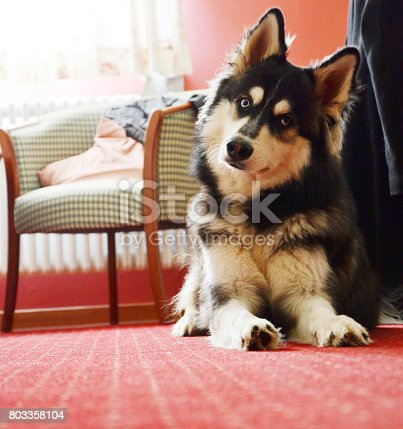istock Traveling with Siberian Husky: Curiously tilting his head, in hotel room 803358104