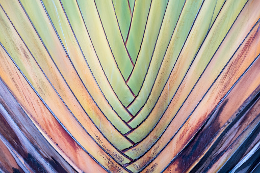 Texture or detail of travellers palm stalk.