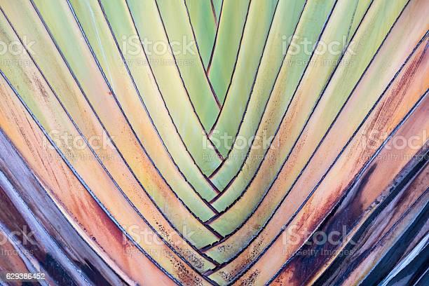 Travellers palm picture id629386452?b=1&k=6&m=629386452&s=612x612&h=a 3eo42h7yuxzbh cvs wnuh7y11ikjd b6hbid0ti0=