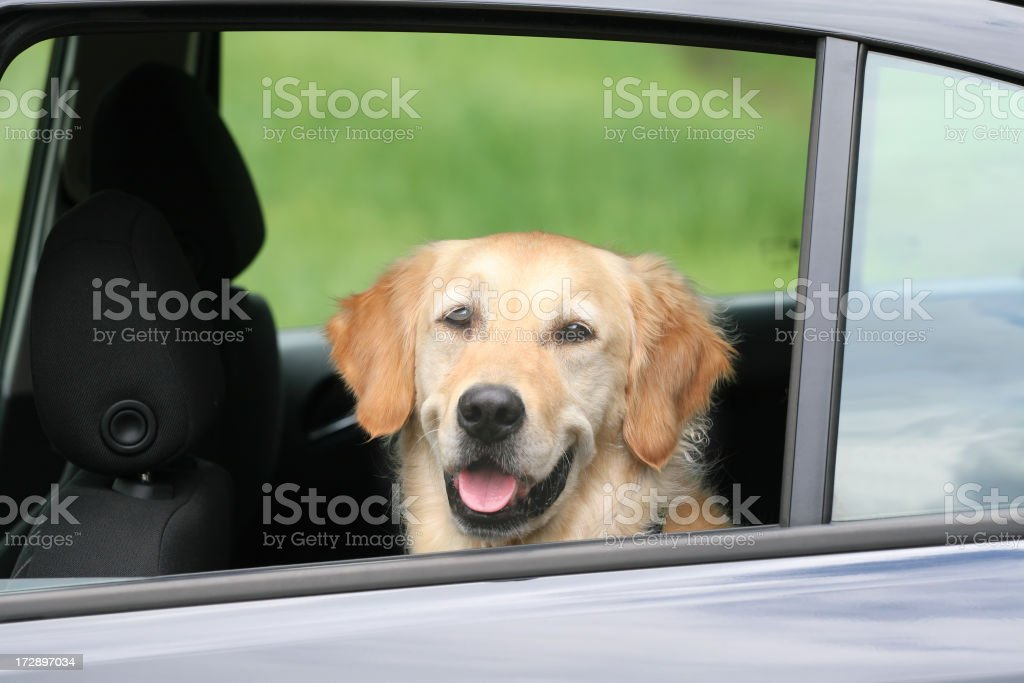 Travelling Golden Retriever royalty-free stock photo