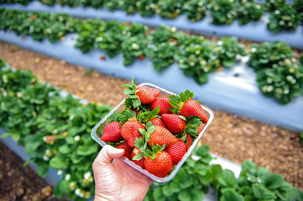 Tray full of strawberries Hand holding a tray full of strawberries in a strawberry field at Caboolture, Queensland, Australia strawberry field stock pictures, royalty-free photos & images