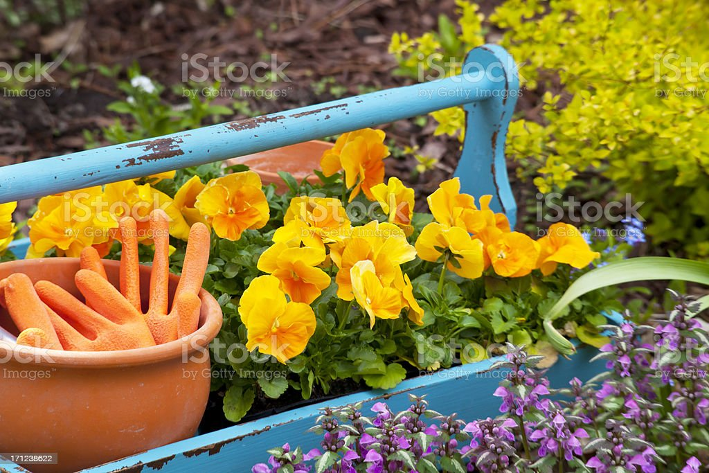 Tray of Pansies stock photo