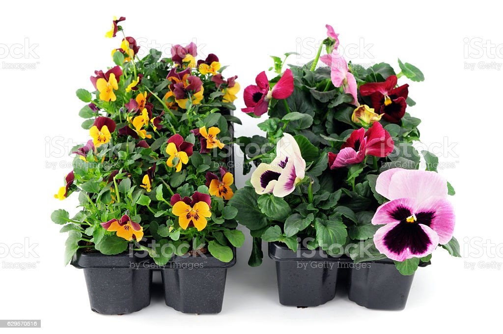 tray of pansy seedlings stock photo