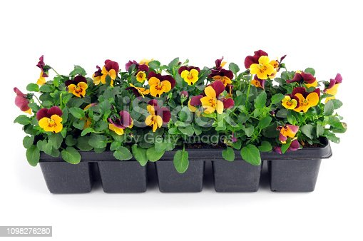 tray box of pink pansy flower seedlings. isolated background.
