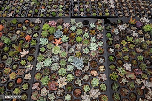Tray of variety succulents which propagating by cuttings in the greenhouse garden