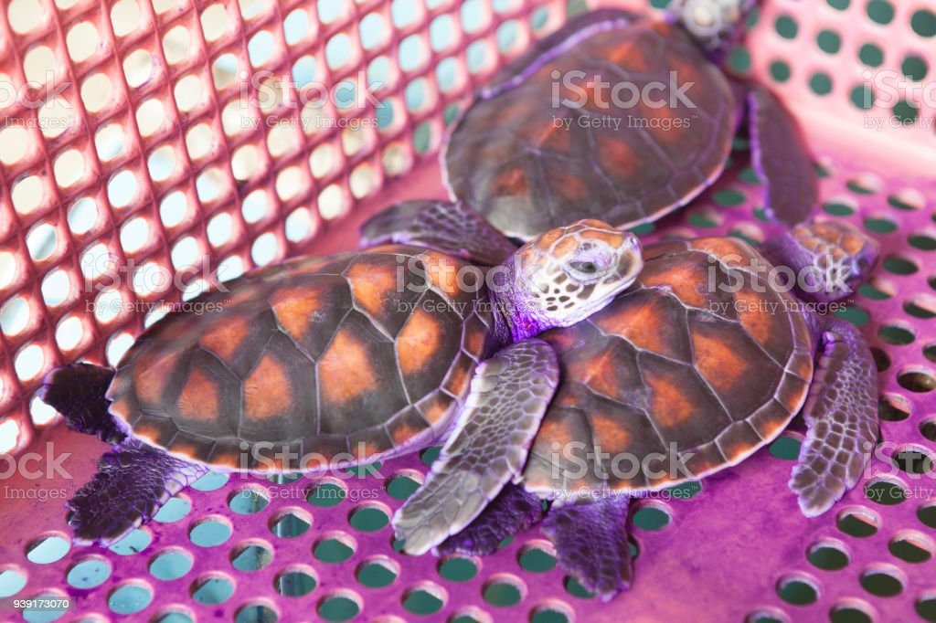 Treatment of sea turtles Sea turtle conservation-dry and apply medication stock photo
