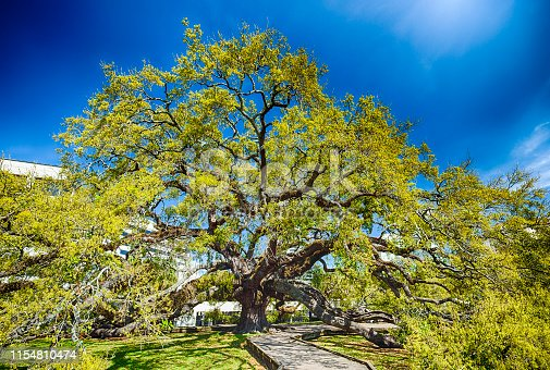 The Treaty Oak is at least 250 years old and sits in downtown Jacksonville.