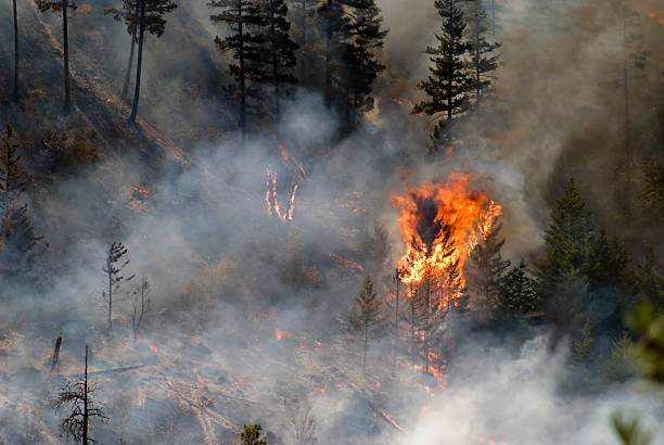 Tree ablaze in forest fire with smoke and charred trees Fire in a pine forest ablaze stock pictures, royalty-free photos & images