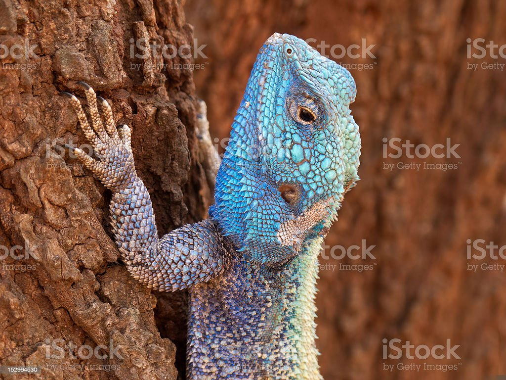 Tree agama stock photo
