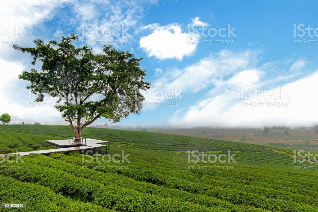 Tree alone in the tea farm and plantation, blue sky background, Chaing Rai Thailand. stock photo