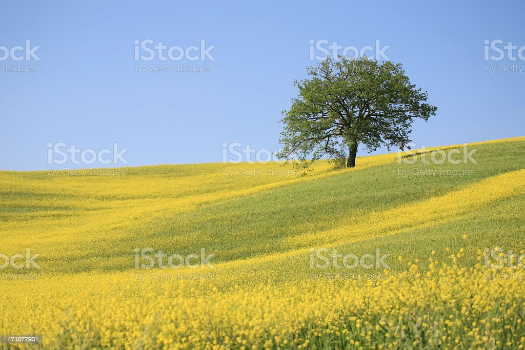 Tree and a yellow meadow in Val d'Orcia Tuscany, Italy stock photo