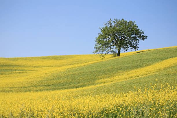 Royalty Free Mustard Tree Pictures, Images and Stock ...