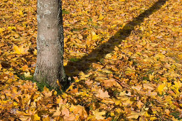 Tree and autumn leaves stock photo