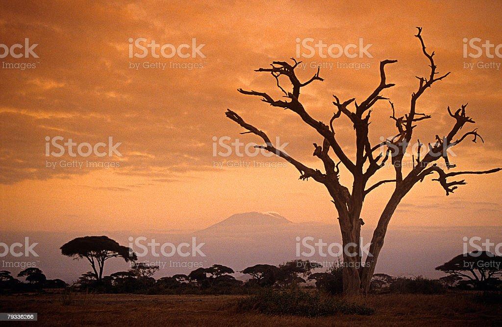 Tree and kilimanjaro at sunset 免版稅 stock photo