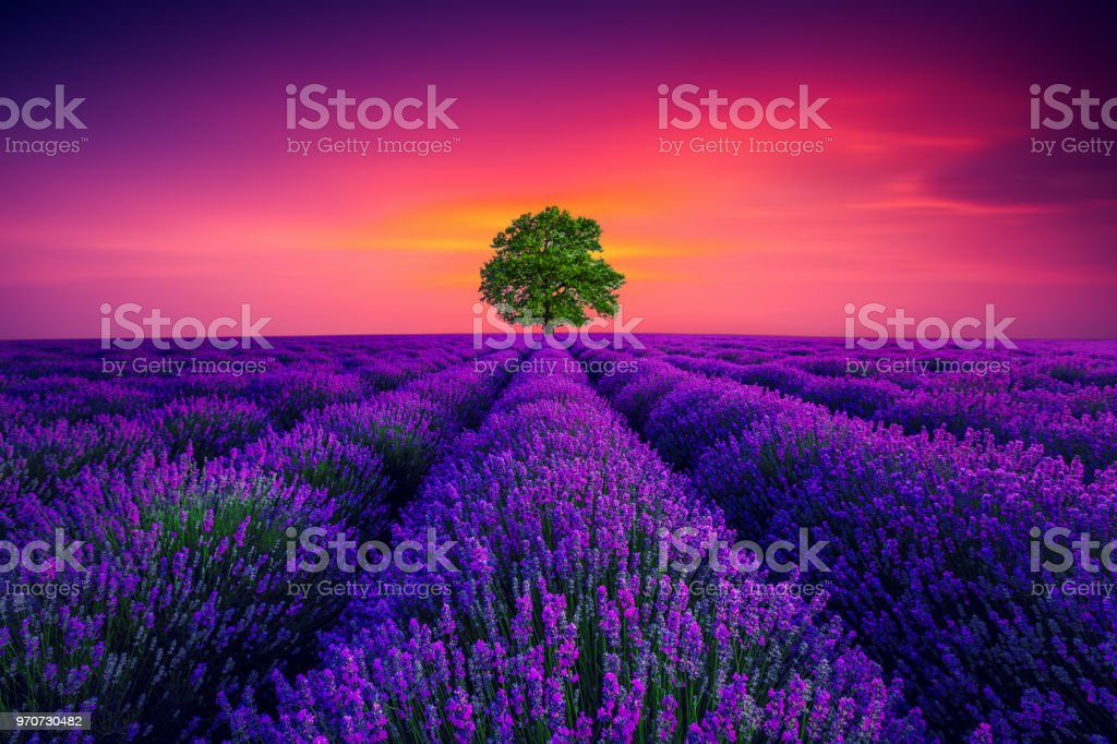 Tree And Lavender Flower Blooming Scented Fields In Endless Rows