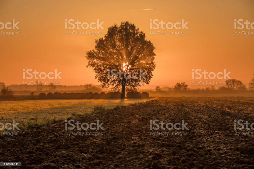 Tree and rolled hay bales on farm during sunset stock photo