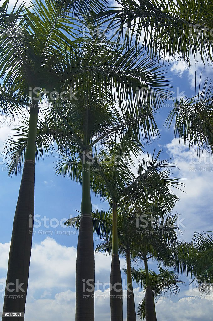 tree and sky (tropical) royalty-free stock photo