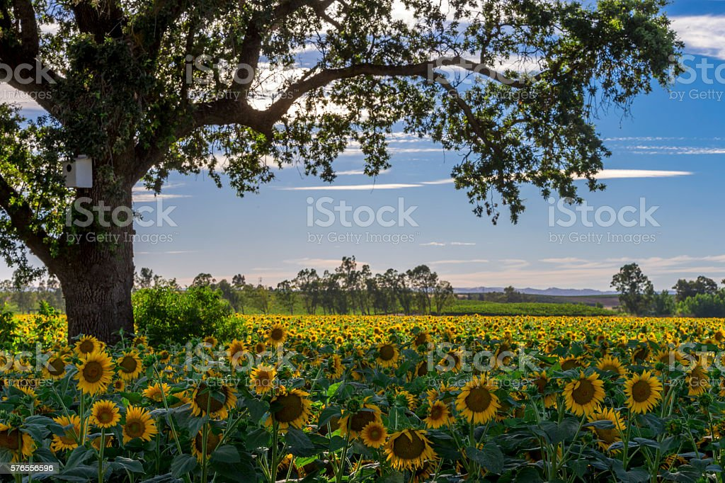 Tree and sunflowers , California stock photo
