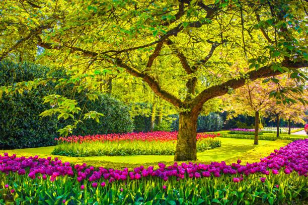 träd och tulpan blommor i vårträdgård. keukenhof, nederländerna, europa. - maj bildbanksfoton och bilder