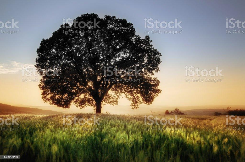 Tree and wheat field royalty-free stock photo