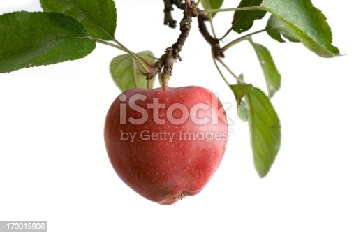 A natural apple on a tree - isolated