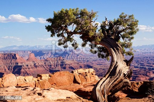 A tree with the view of the canyon in the background at Dead Horse Point State Park in Utah.