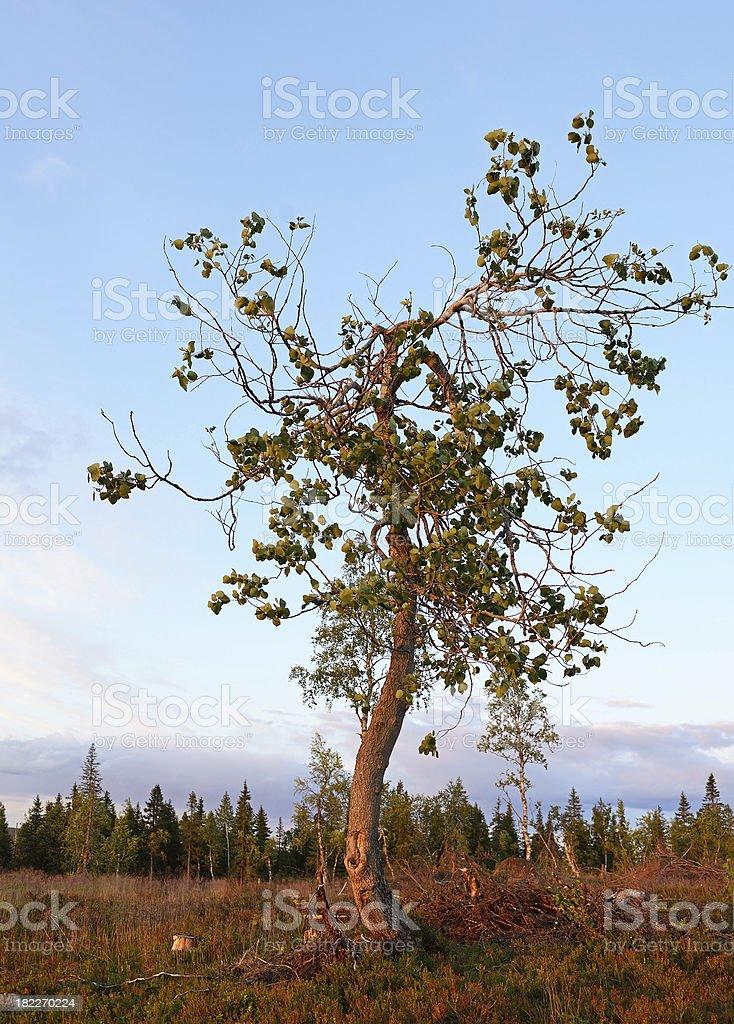 Tree at sunset royalty-free stock photo