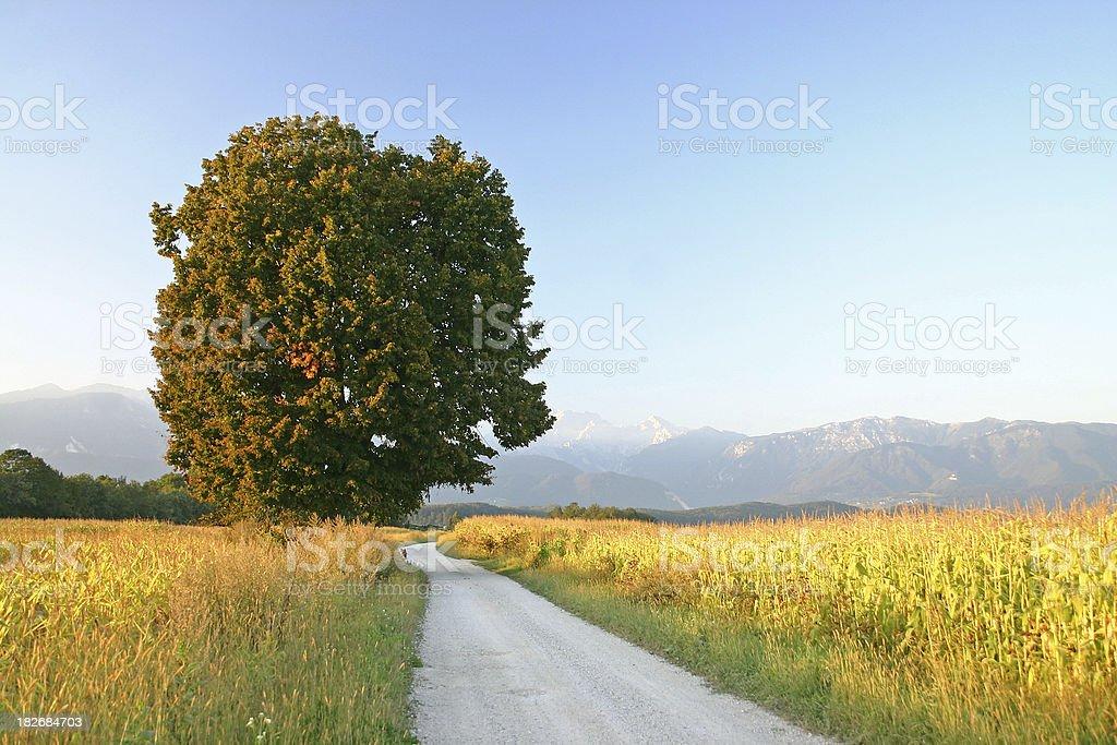 Tree at the cornfield royalty-free stock photo