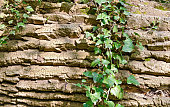 rough bark of a tree and leaves of an ivy