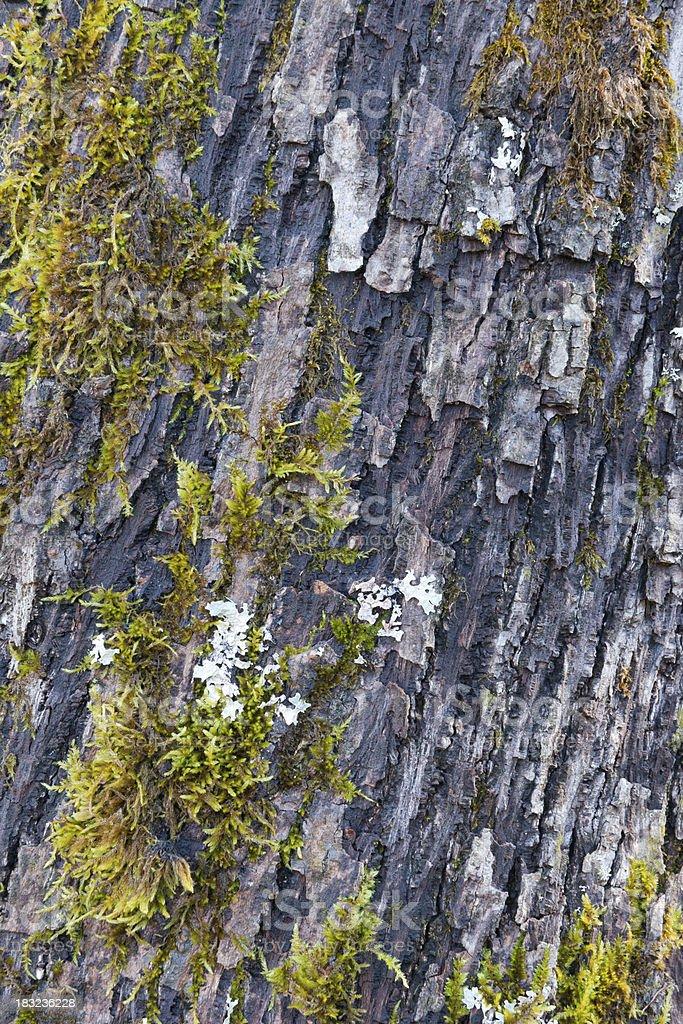 Baumrinde Hintergrund (XXXL – Foto