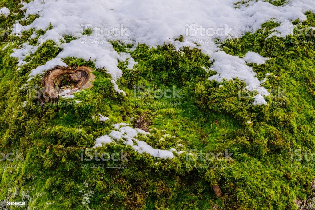 Baumrinde, bedeckt mit Moos und Schnee und ein Astloch sieht aus wie ein Auge – Foto