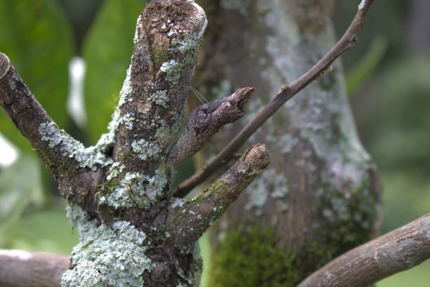 Tree bark - like cocoon attached to a tree limb stock photo