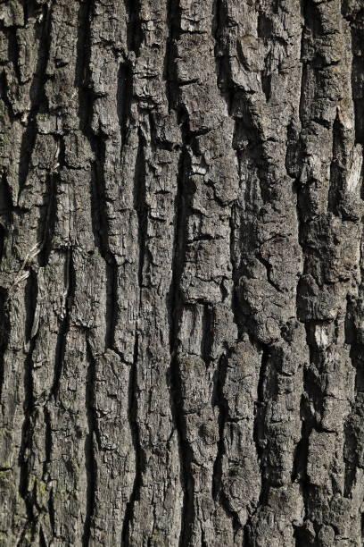tree bark, corteccia albero - gigifoto foto e immagini stock
