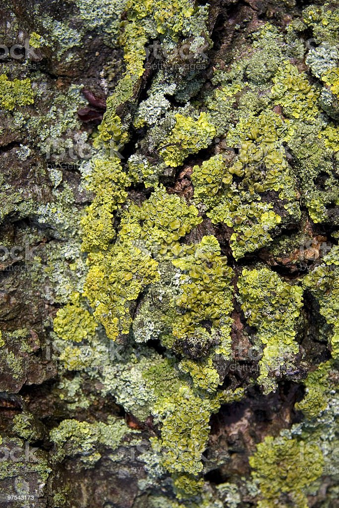 Tree bark with lichen royalty-free stock photo