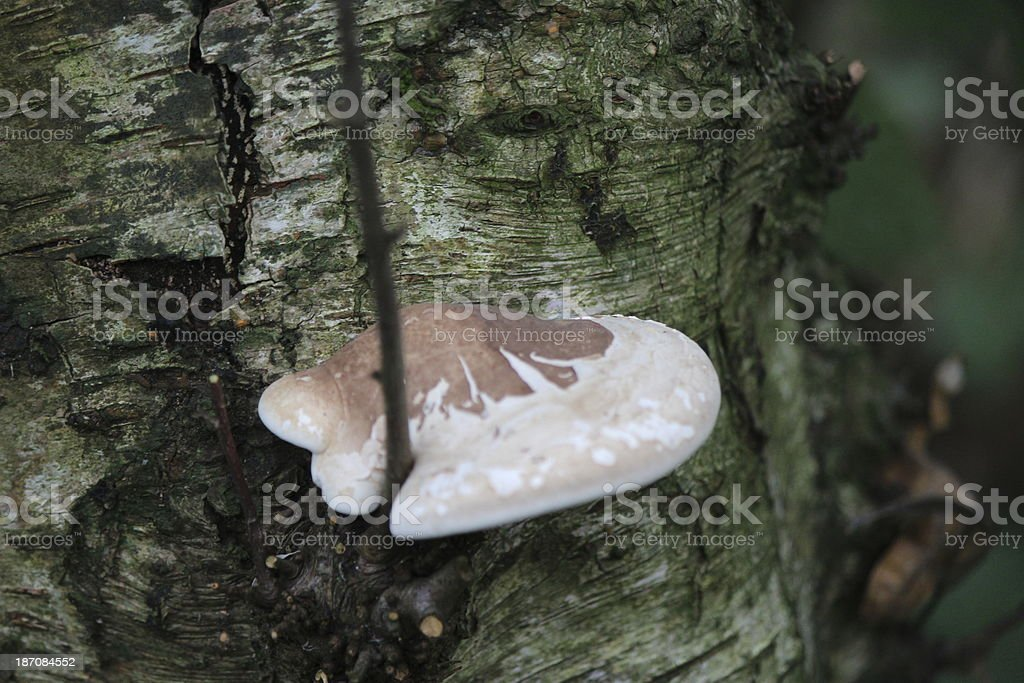 Tree bark with Turkey tail fungus stock photo