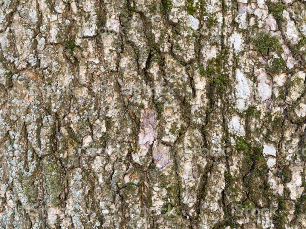 Tree BarkTexture Background close up shot silver birch with moss royalty-free stock photo