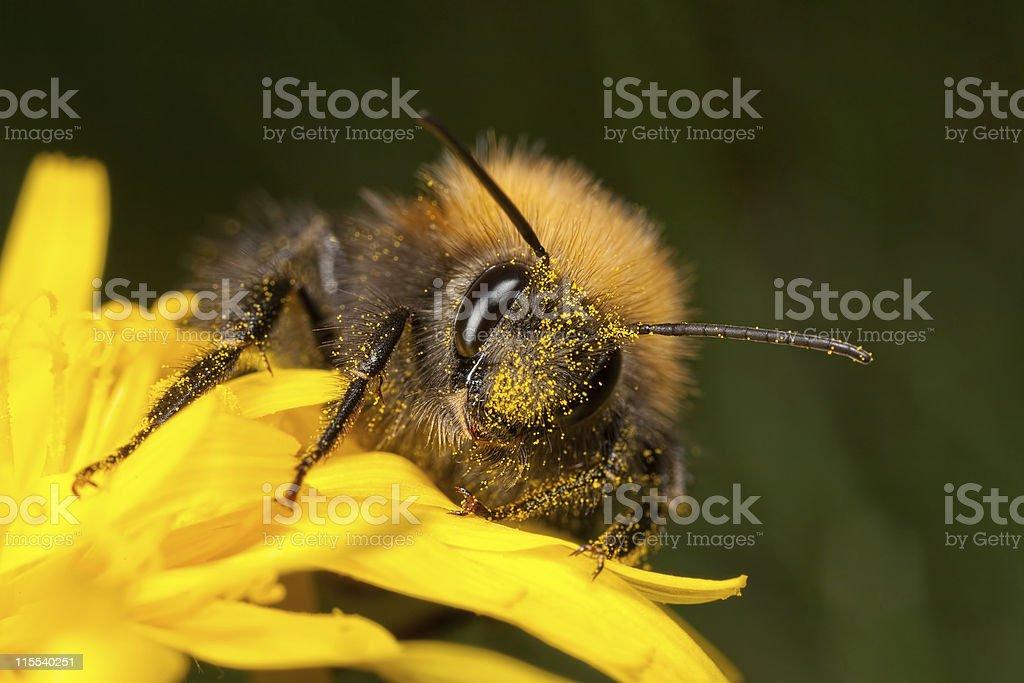 Tree Bee - Bombus hypnorum royalty-free stock photo
