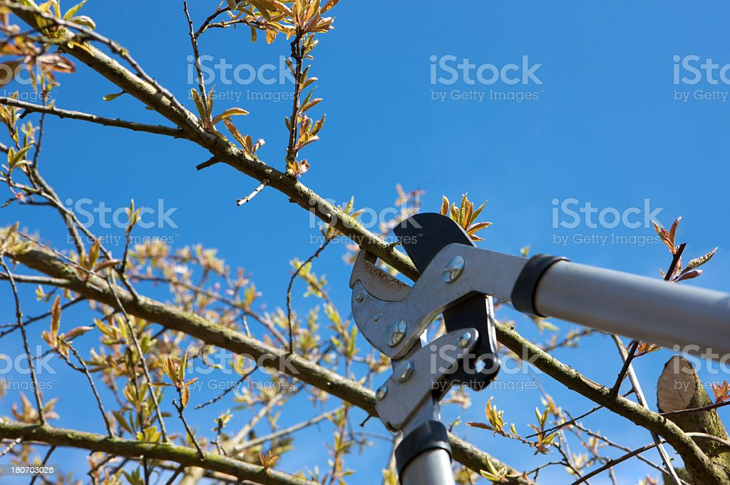 Tree being pruned with Loppers against a clear blue sky stock photo