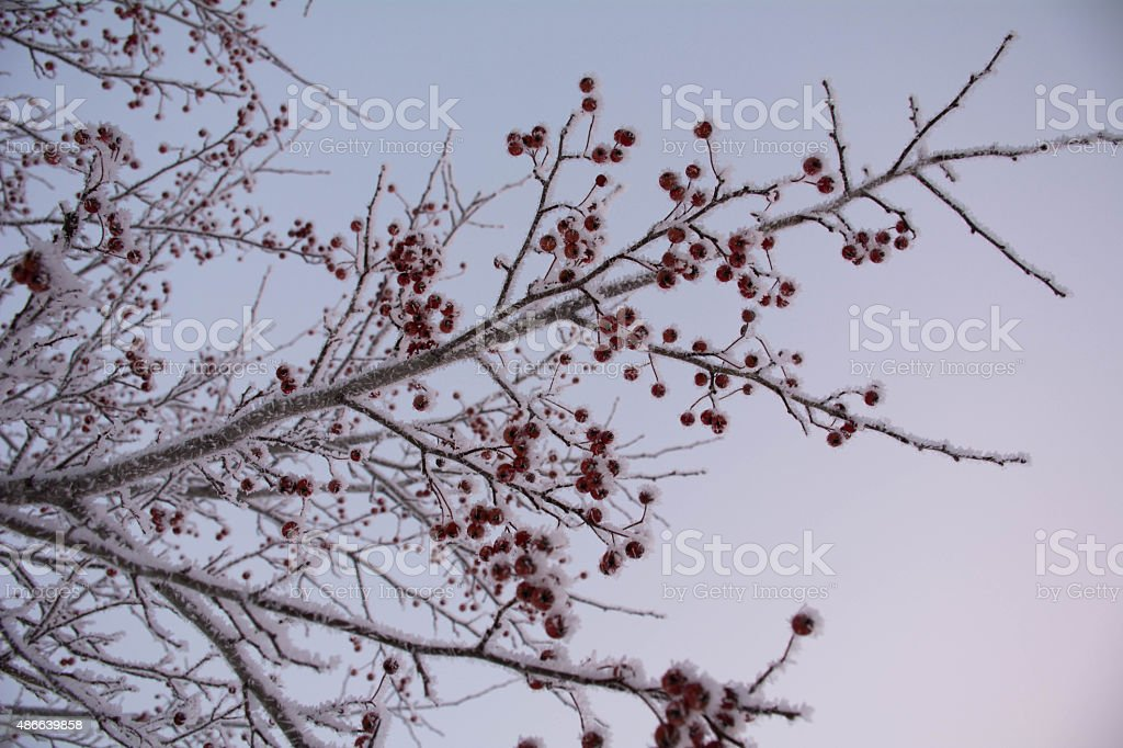 Tree berry branch frosted stock photo