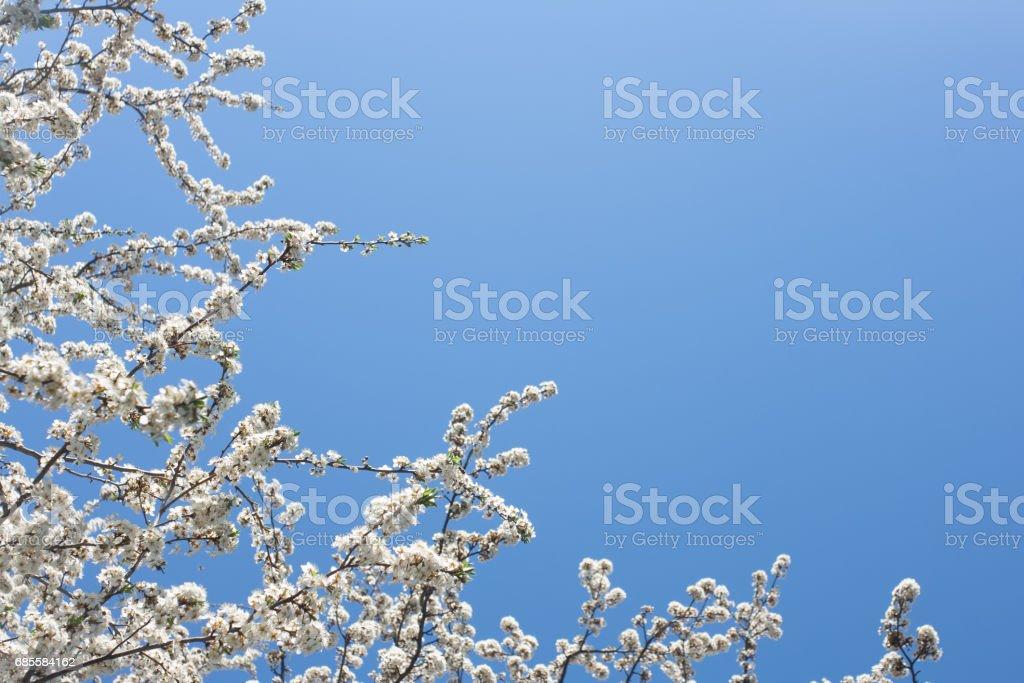 Tree blossom ロイヤリティフリーストックフォト
