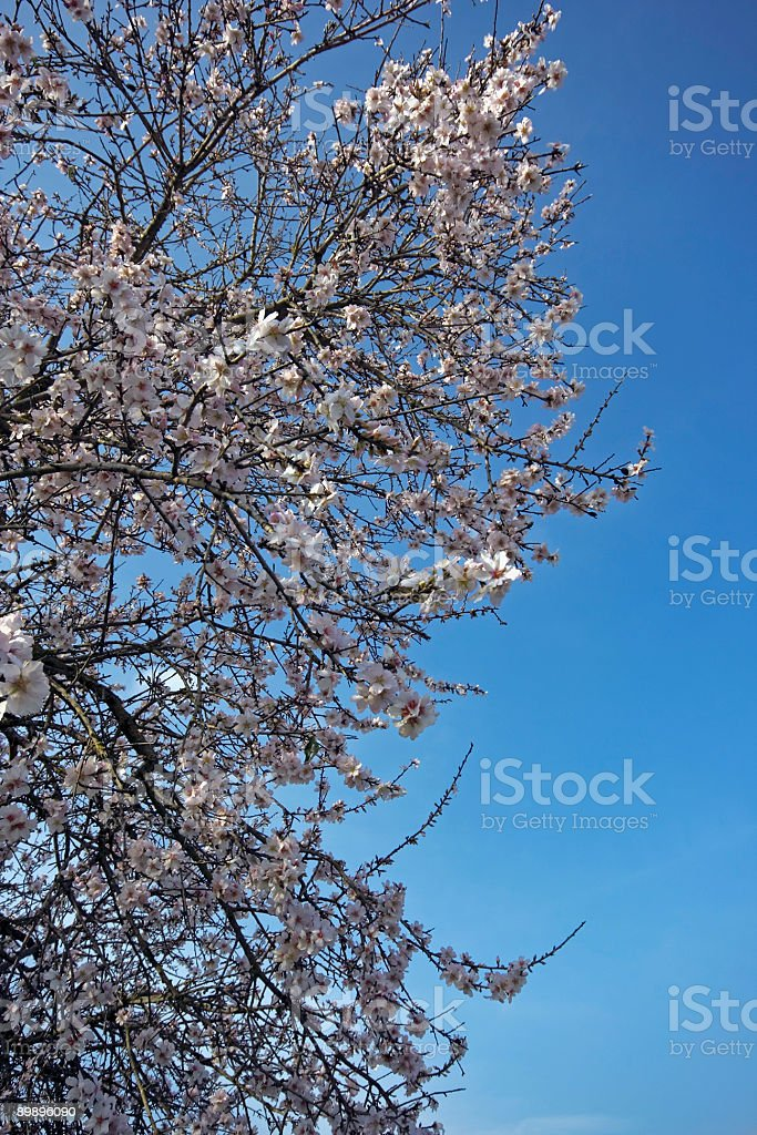 Tree blossoming in springtime royalty-free stock photo